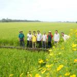 Cánh đồng sinh thái ở huyện Thoại Sơn - An Giang
