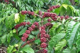 coffee-moka